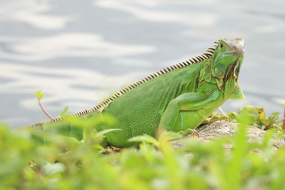 GREEN IGUANA - INVASIVE