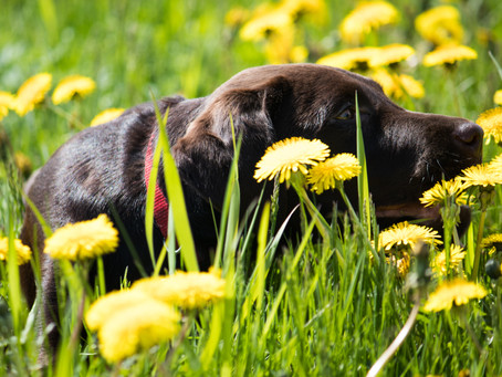 Dandelions for the health of your dog