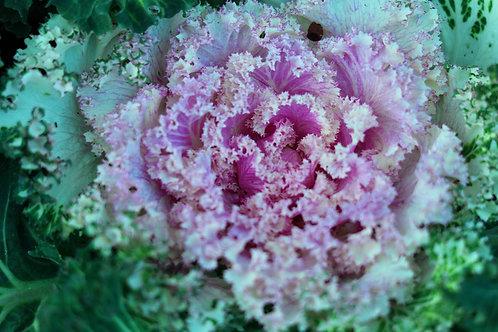 """Flowering Kale Osaka Pink 3.5"""" pot"""