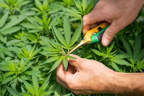 Image by CRYSTALWEED cannabis