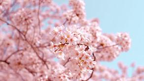 Zoom sur… le Hanami et les fleurs de cerisier au Japon