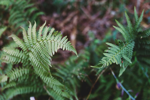 Image by Chelsea Shapouri of two ferns upclose in a dense, but well-lit forest. The image represents a couple working through challenges.