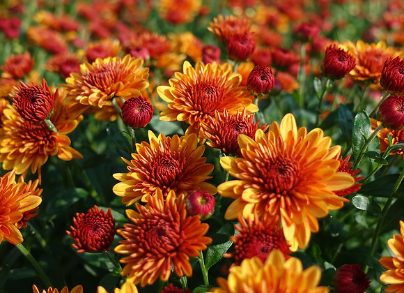 Mums for Beacon Elementary