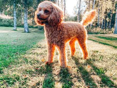 Ciri, keunikan dan cara merawat anjing mini poodle