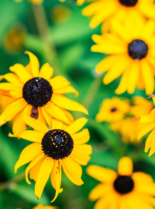 Flor Box OXO | Flower Meanings | Black-Eyed Susan
