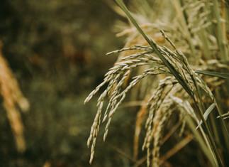 Arroz: Atividades de semeio se iniciam no RS e cotações seguem firmes
