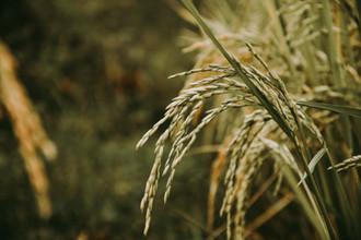 El cambio climático favorece la producción de arroz en elevaciones más altas en Colombia