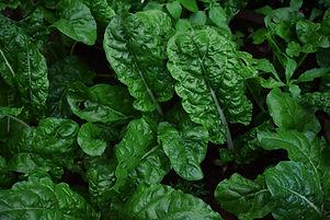 Image of chard plants.