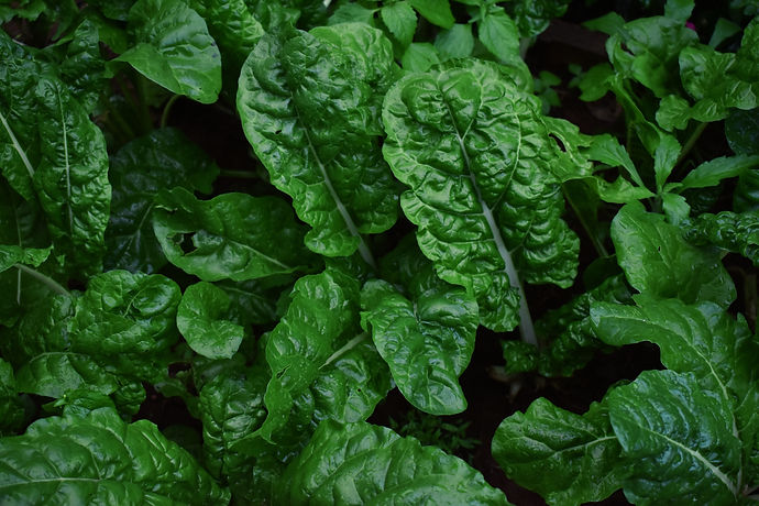 Image of chard plants by Elly Brian