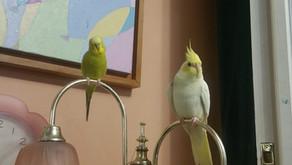Kafes Kuşlarında bazı önemli hastalık belirtileri