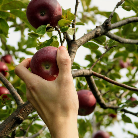 Top Places to go Apple Picking in Boston, Fall 2020