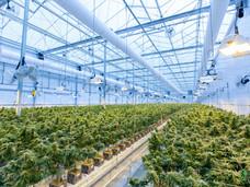 大批世界知名政治人物为温哥华岛上市大麻公司站台
