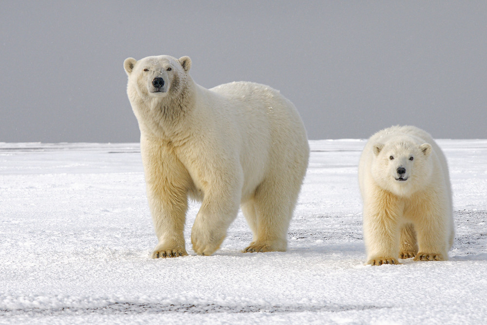 Two polar bears (mother and child) walking on the ice