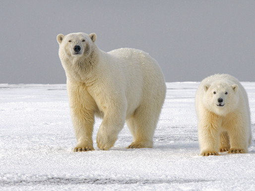 International Polar Bear Day: Protecting Vital Polar Bear Habitats