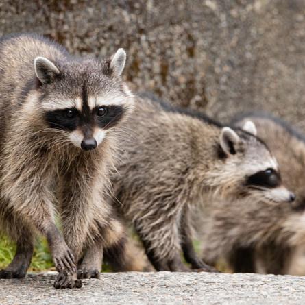 Raccoons break into a California bank!