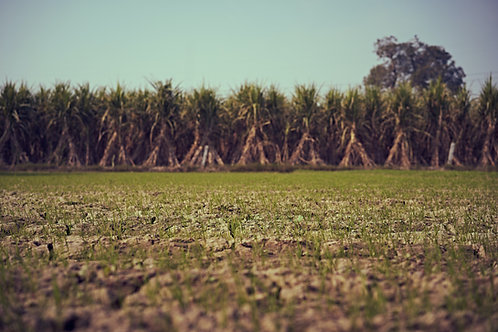 Carolina Sugarcane