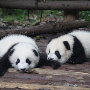 Thy Kingdom Come, Cheeky Pandas 1&2!