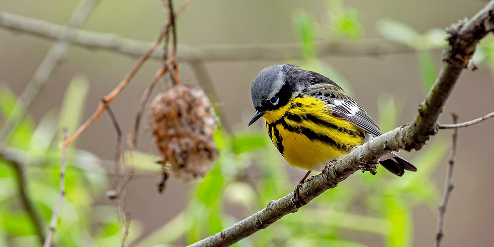 Building Better Birders Series-Warblers and More