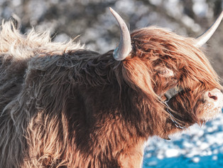 Halkerston's cow