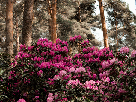 Rhododendron flower- The flower that gives Mad honey its 'crazy' attributes.