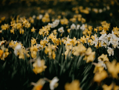 The Best Places to See Daffodils in London's Cemeteries