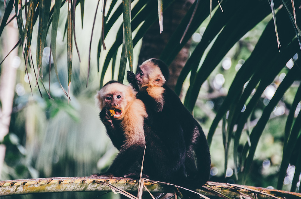 See the monkeys playing in Costa Rica in 2021