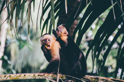 Costa Rica has 4 species of monkeys, including these white-faced (Capuchin) monkeys