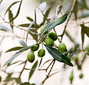 Image of olive tree by Janine Joles