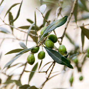 Bringing in the olive harvest