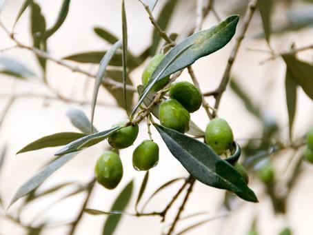 Bringing in the olive harvest