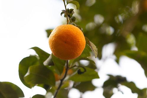 Naartjie Tree - Clementine