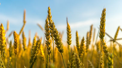 Wheat, Money management