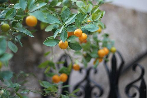 MandarinEssential Oil 5ml