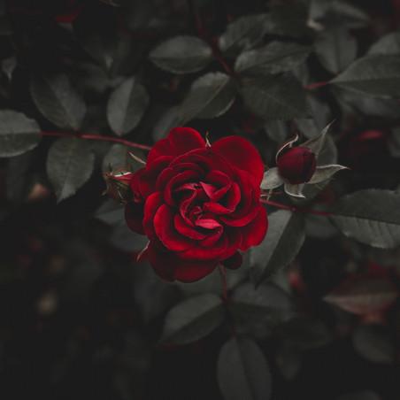 Poetry Corner: Shadowed Rose