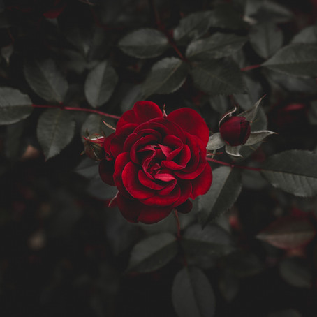Poetry Corner: Shadowed Rose