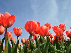 Autocueillette de tulipes | Rabais sur activité