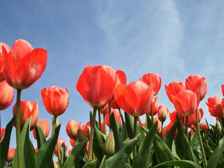 Autocueillette de tulipes   Rabais sur activité
