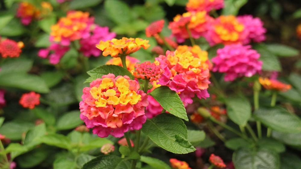 Orange and Pink Lantana