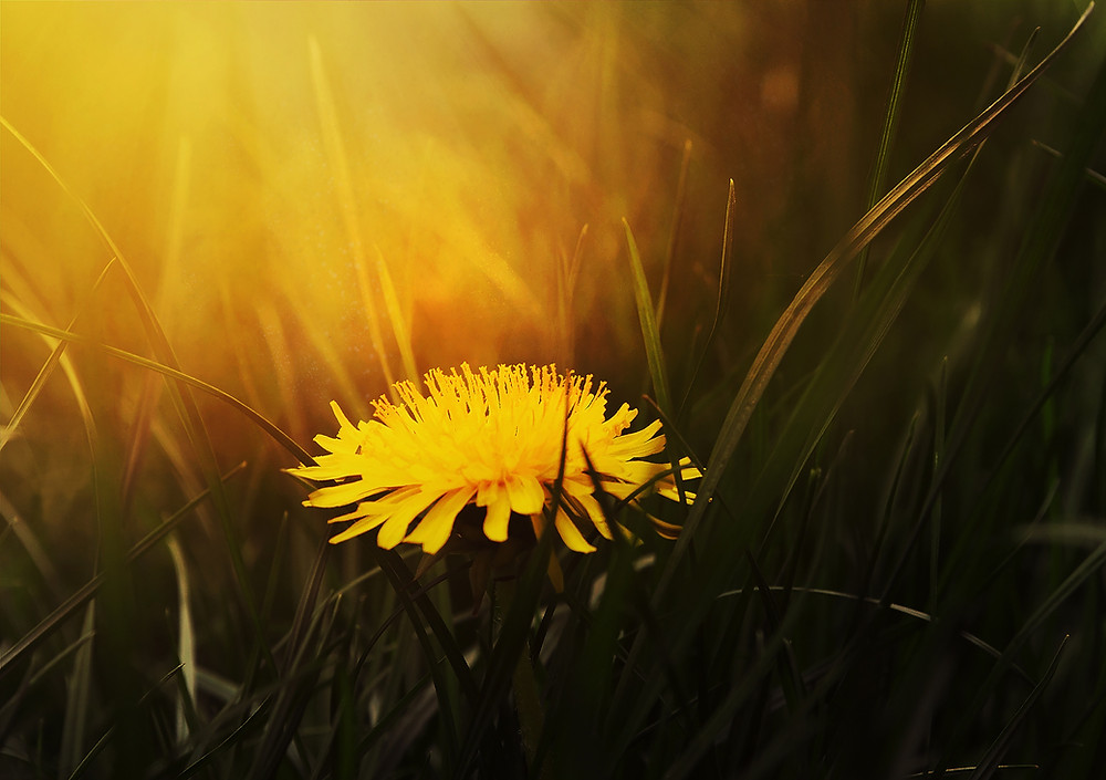 Dandelion in a yard of grass with beautiful backlight sunlight filtering through