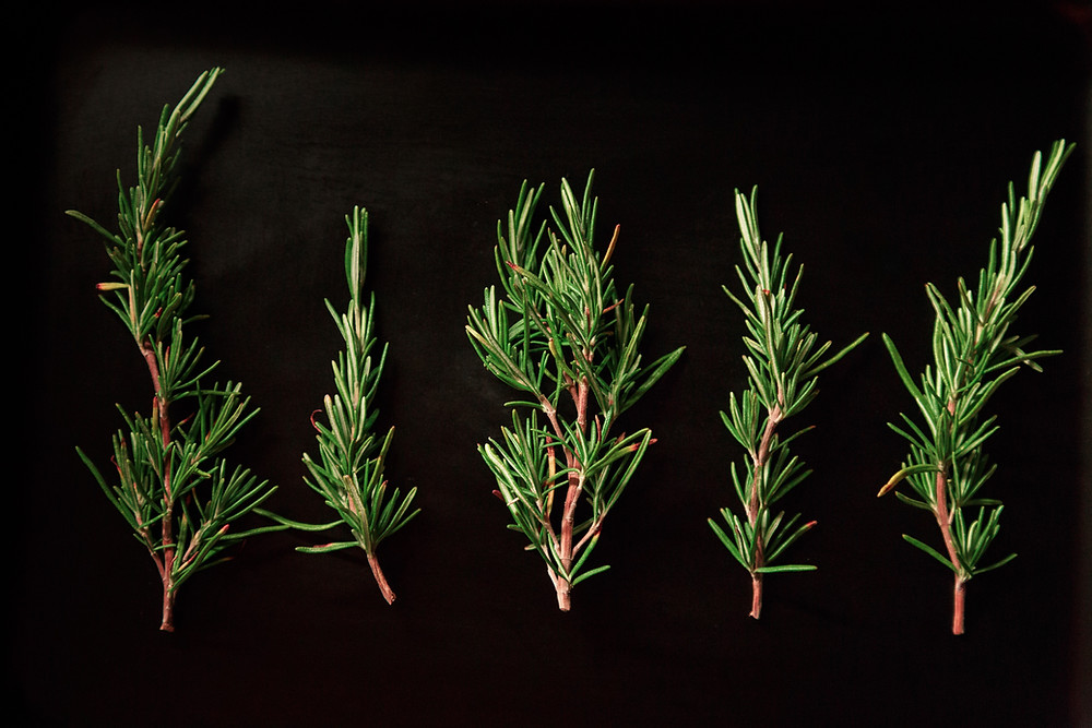 rosemary contains pulegone terpene isolates