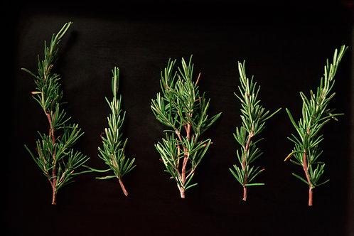 Javier's Rosemary