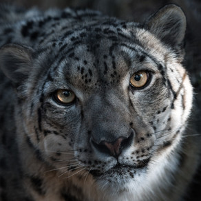 Conservation Status of Snow Leopards