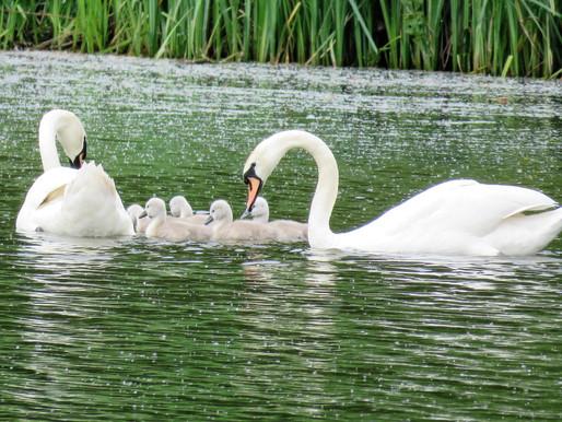 So Many Swans...