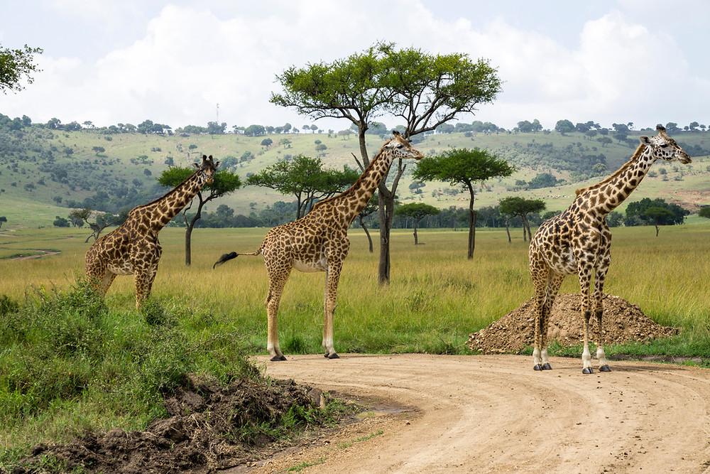 Kilimanjaro Safari, Animal at animal kingdom, disney world itinerary