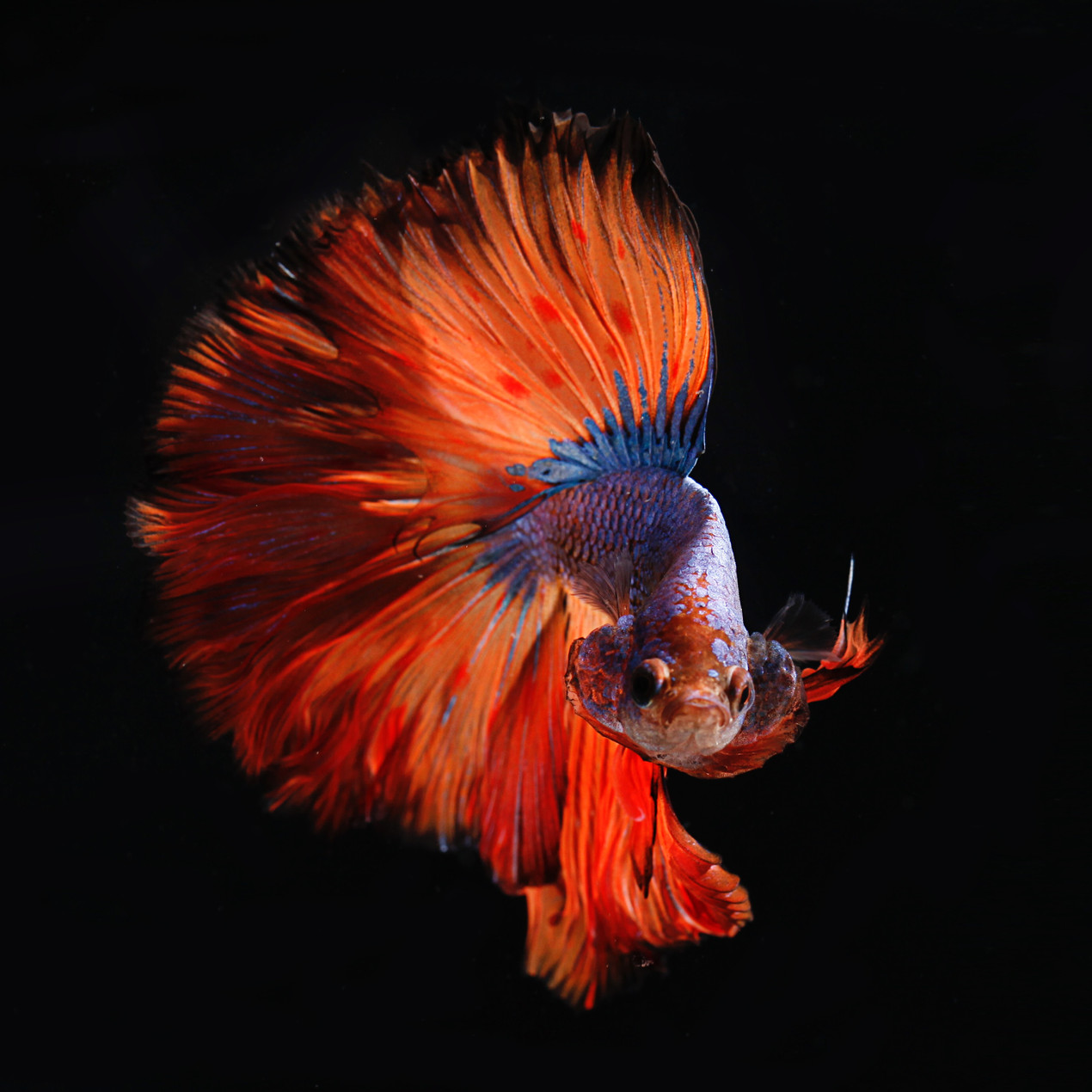 Betta fish with expanded tail
