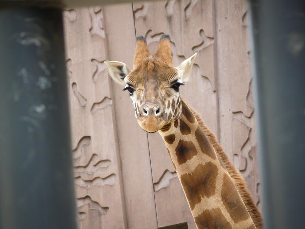 giraffe looking at birch trail resort guest at zoo