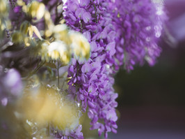 The Best Places for Wisteria Hysteria in London - Kensington and Chelsea