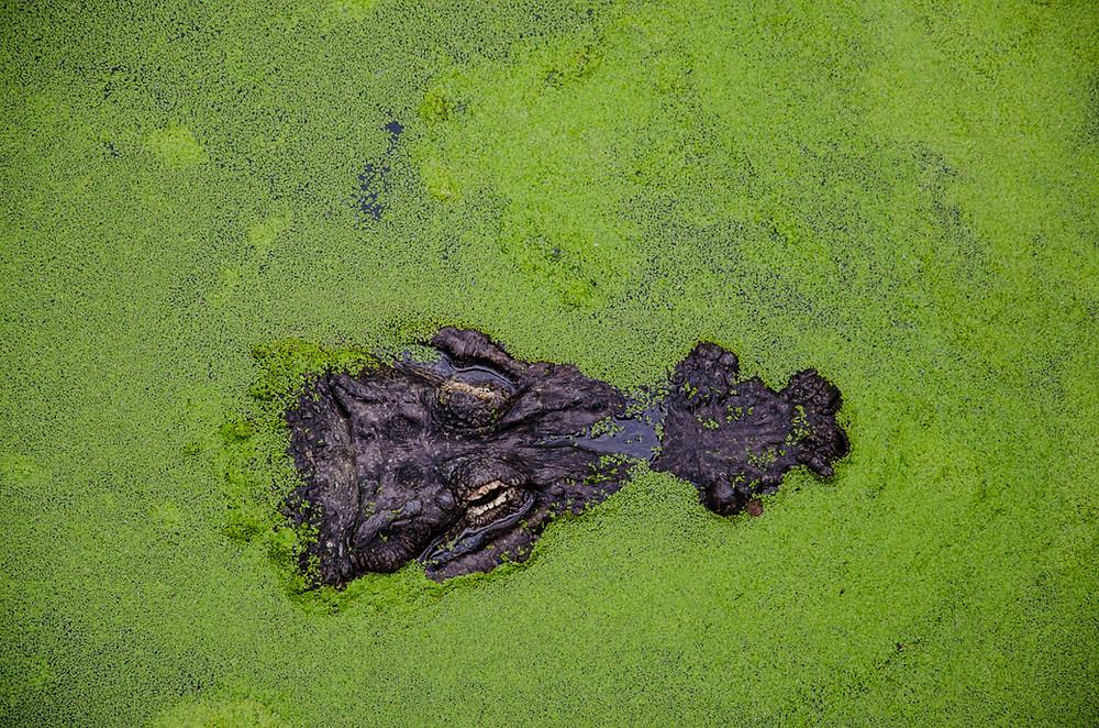 Red algae and laurene terpenes