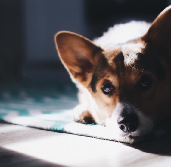 Laminate Floor - Dog