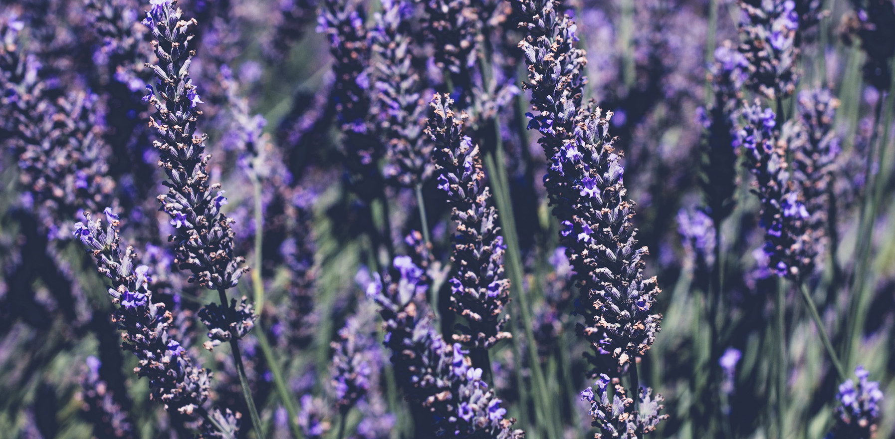 """""""Why You Need to Start Using Lavender Oil Today: Plants & Skin Care Series"""""""